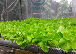 Kết quả dùng Đất sạch trồng rau tại Đà Nẵng